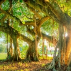 THE BANYAN TREE by Lalita Noronha