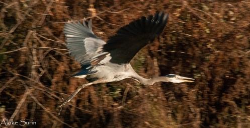 blue-heron-1